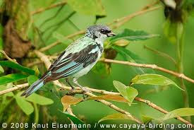 Azure rumped Tanager
