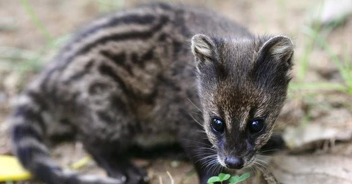 Civet Life Tips Mengurangi Bau Musang Biul