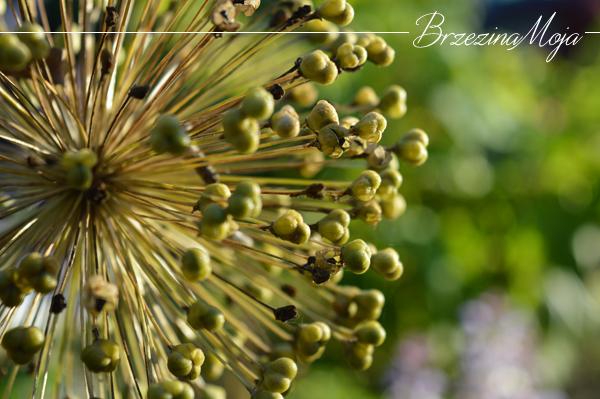 czosnek ozdobny nasiona