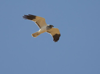 Reunion marsh Harrier