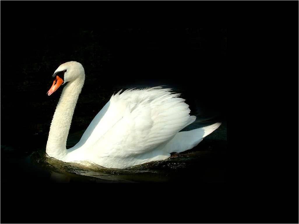 imagenes de cisnes fotos