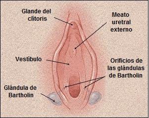 Vestíbulo bulbar, glándulas de Bartholin
