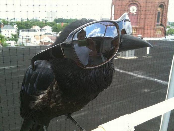 Cuervo con gafas de sol