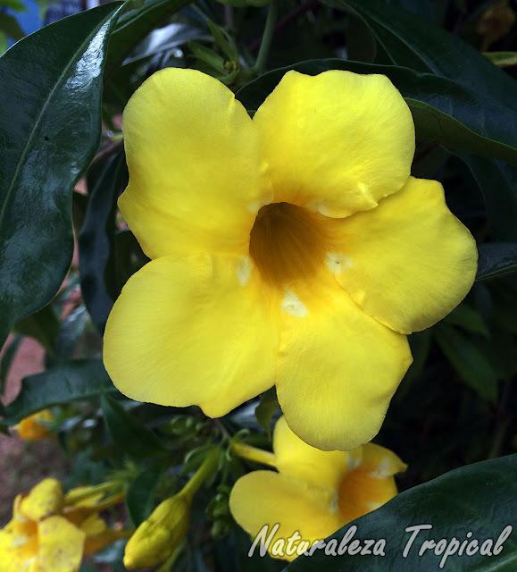 Flor característica de la planta conocida como Trompeta de Oro o Flor de Mantequilla, Allamanda cathartica