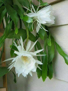 Jual Tanaman Kusuma Wijaya Bunga Putih | Jual Tanaman Hias Online | Jasa Tukang Taman Online