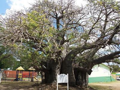 baobab bridgetown barbados