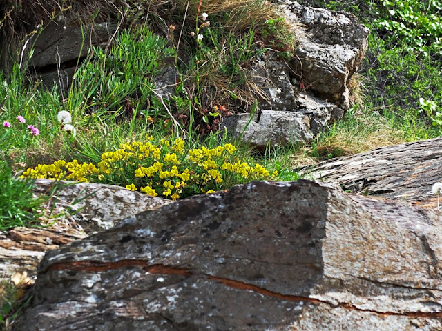 Wild flowers on cliffs, Pentewan, Cornwall
