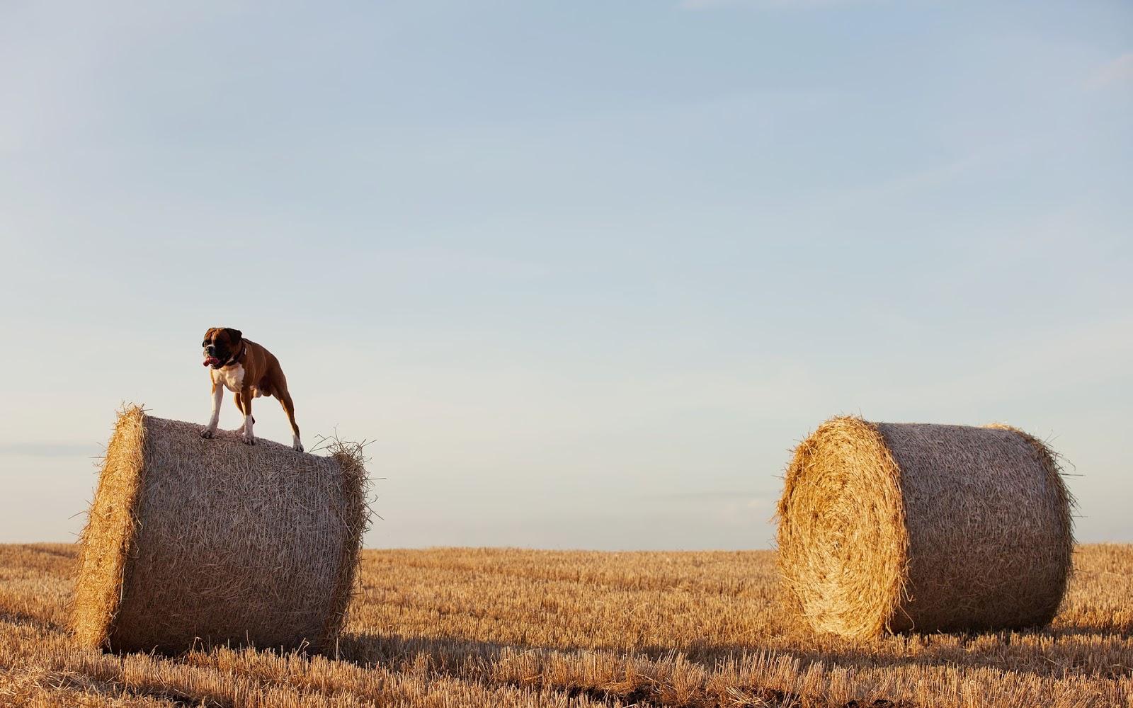 Foto van een hond bovenop een baal hooi