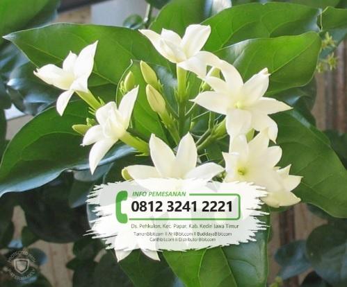 Jual Bibit Bunga Melati Putih Kualitas Terbaik Harga Murah Caribibit Com