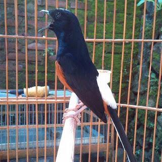 Burung Murai Batu - Pemasteran yang Wajib dan Haram Untuk Burung Murai Batu - Penangkaran Burung Murai Batu