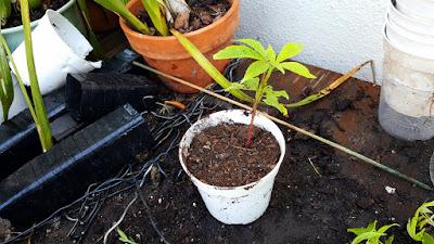 ceiba pentandra seedling