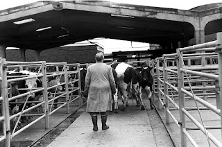 Beasts for sale at Brigg cattle market in 1972 - see Nigel Fisher's Brigg Blog
