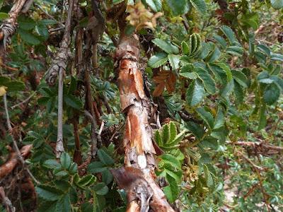 Polylepis australis tronco