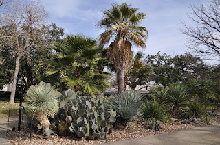Large cactus garden with a palm tree