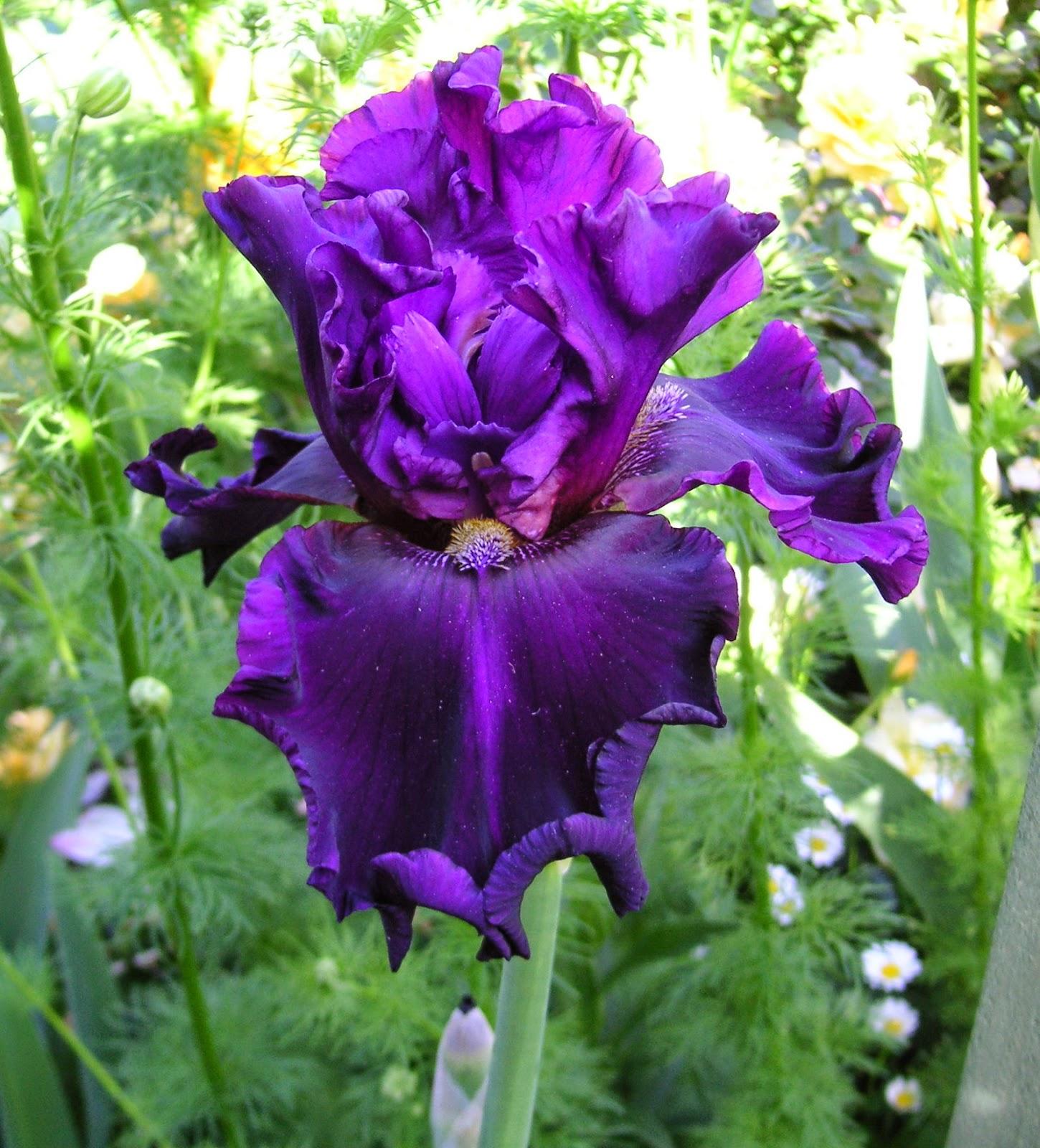 World Of Irises Tall Bearded Iris Color Terms