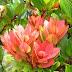 Mengenal Cantigi / Vaccinium varingiaefolium (Bl.) Miq
