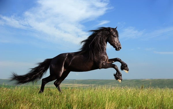 Black Horse Images for Mobile