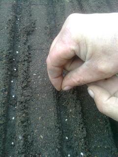semanarea semintelor din 2 in 2 cm pe pe randuri
