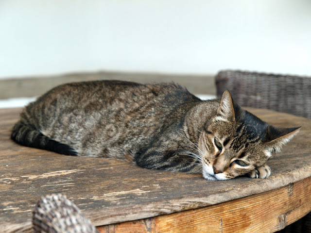 A tabby cat dozing on a table