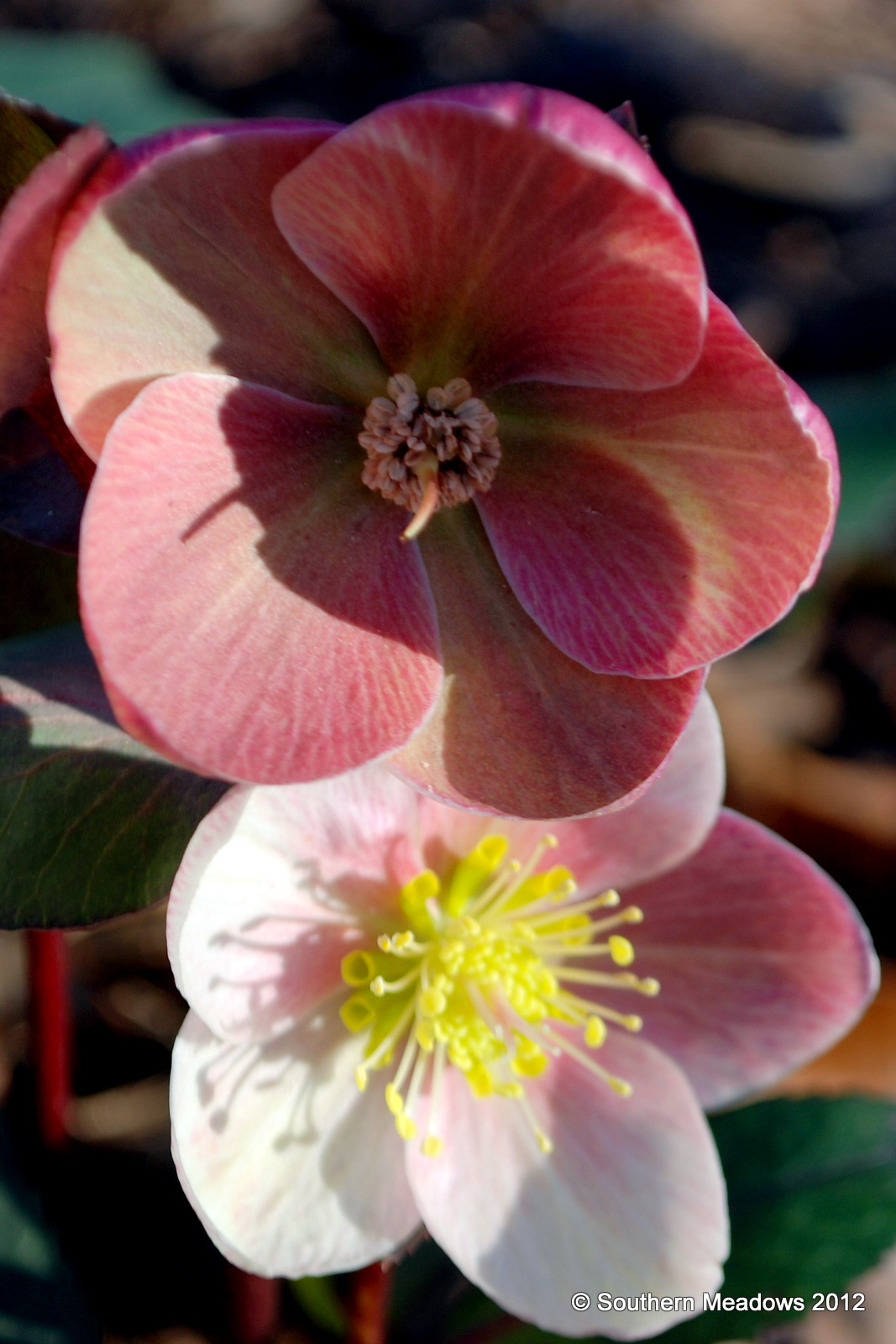 the hellebore are in their element at this time of year