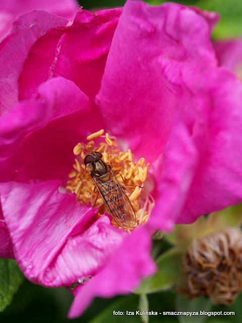 syrop rozany, platki roz, ogrod rozany, kwiaty jadalne, syrop z platkow rozy, przetwory