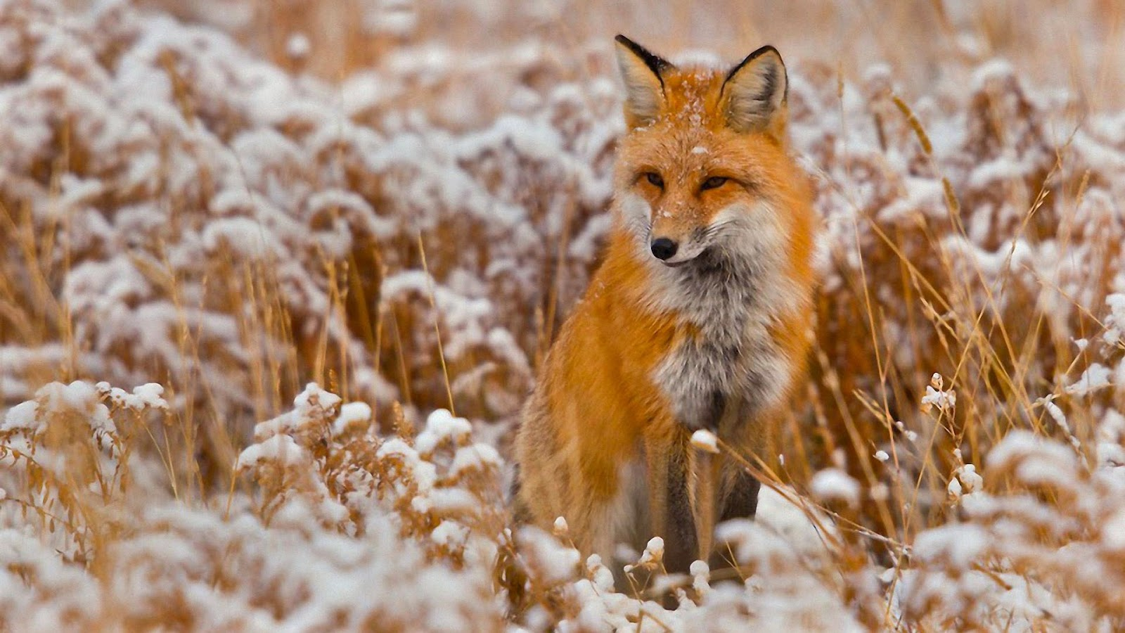 Fox HD Wallpaper