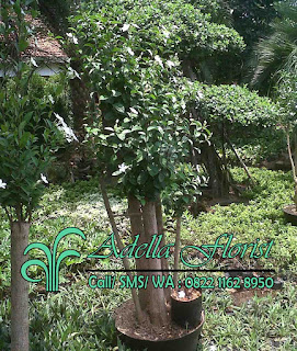 alt= bonsai-melati-jasmine