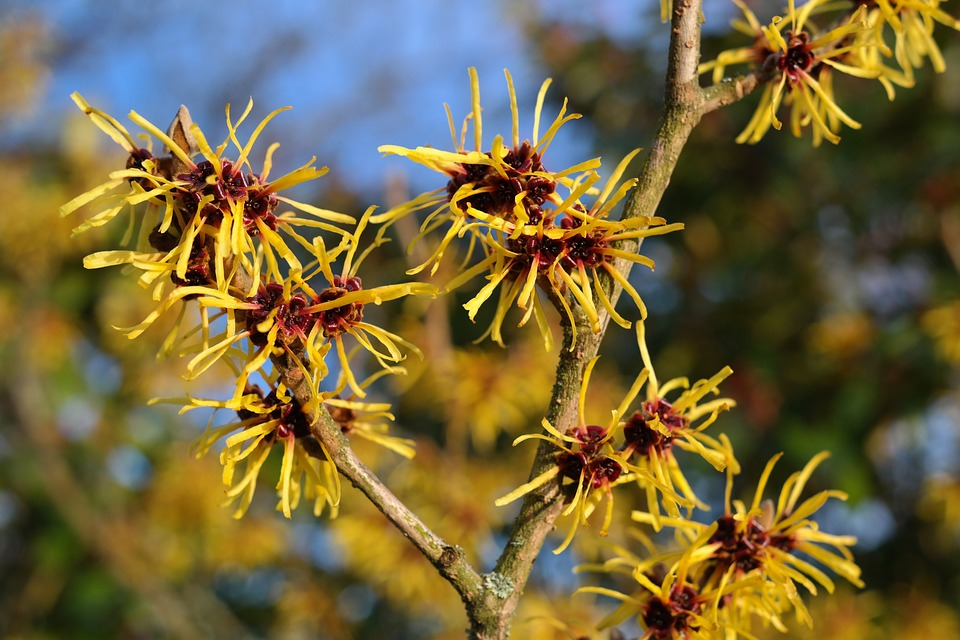 witch hazel for beauty