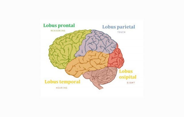 Lobus Frontal, Lobus Parietal, Lobus Temporal, Lobus Oksipital