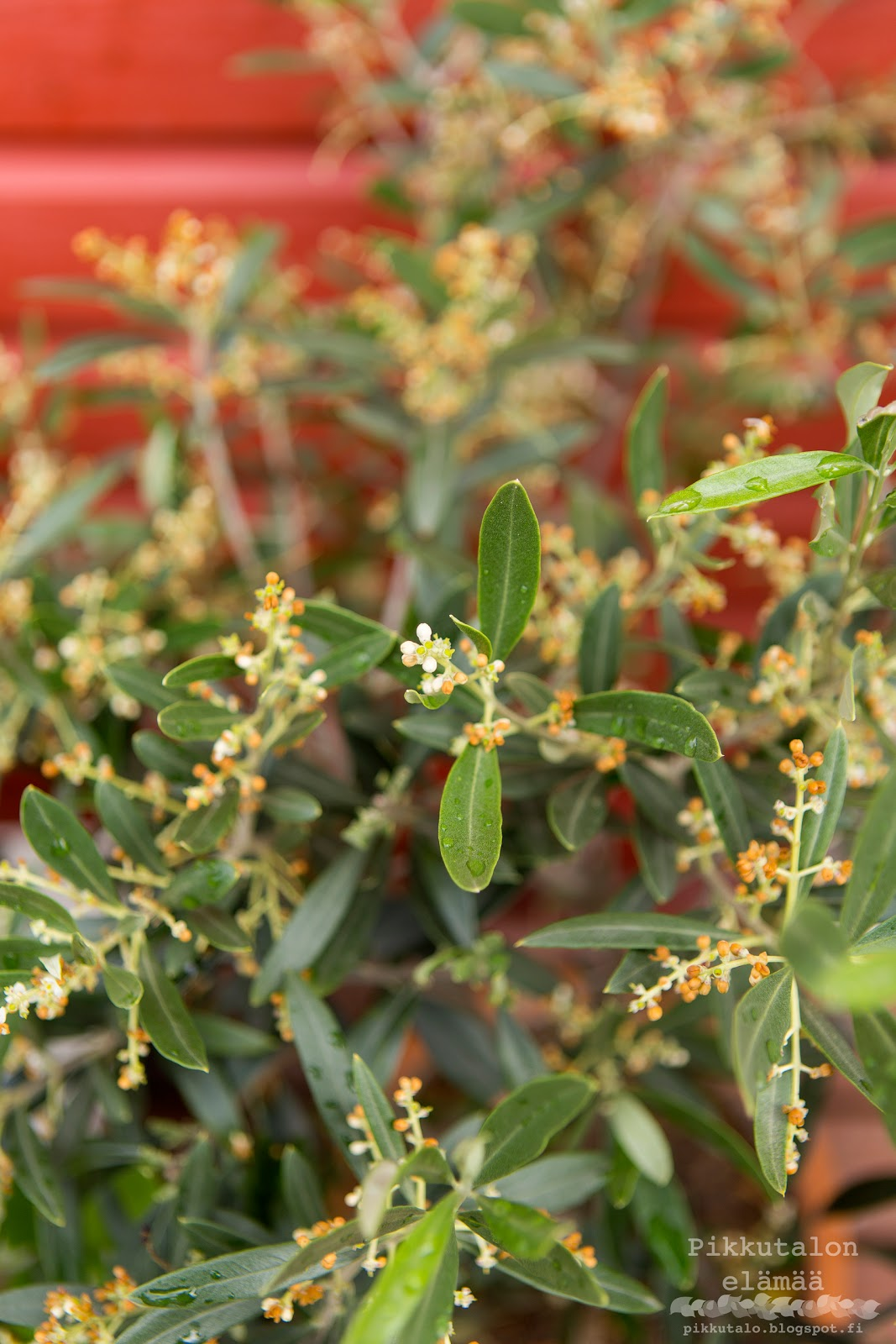 oliivipuu kukkii Suomessa