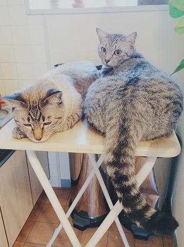 サバトラ猫のデカ尻