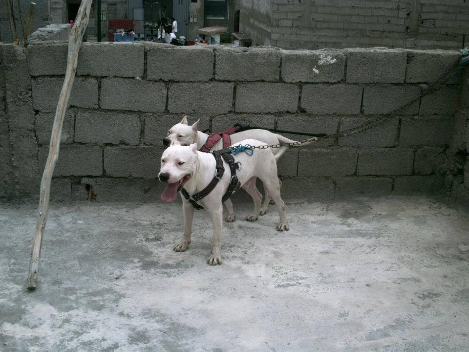 Photos Pitbull Mexicain Chiens Vendre