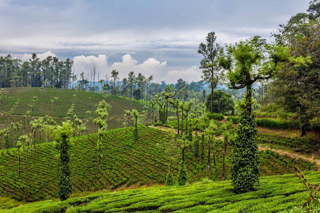 Landscape of tea plantation