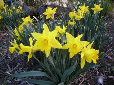 Planta Narciso (Narcissus pseudonarcissus)