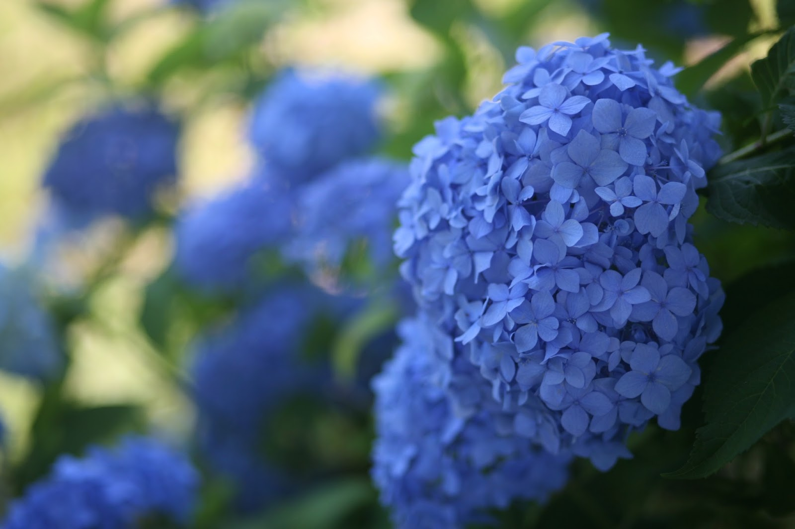 WHAT CAUSES BLUE HYDRANGEAS TO TURN PINK?  The Garden of Eaden  Blue