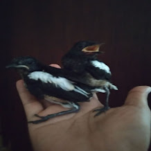 Cara Mengajari Anak Burung Kacer Makan Voer Sendiri