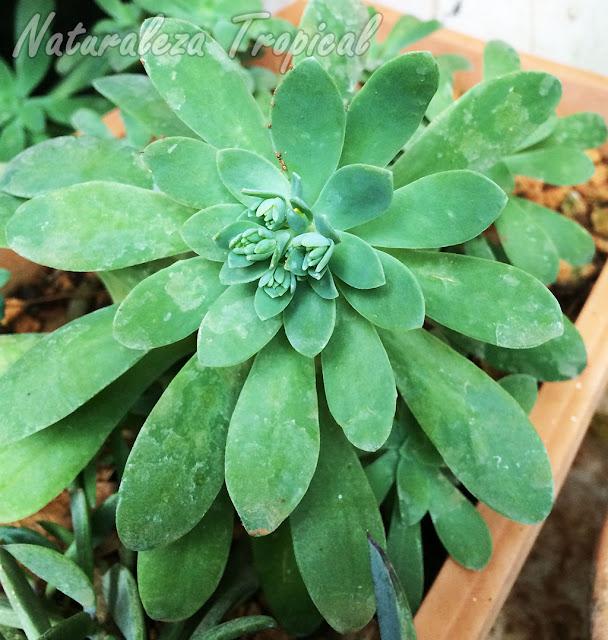 Roseta con inflorescencia en formación de la planta suculenta Sedum palmeri