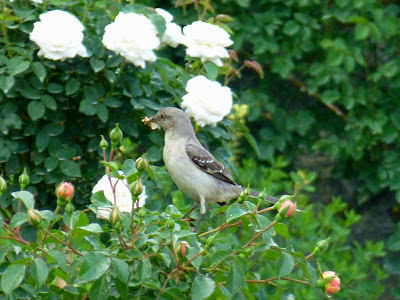 North Carolina Mountain Birds: Northern Mockingbird