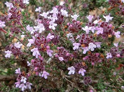 Flores violeta pálido de Tomillo de invierno (Thymus hyemalis)