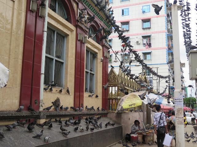 Multitud de palomas habitan las calles de Yangón