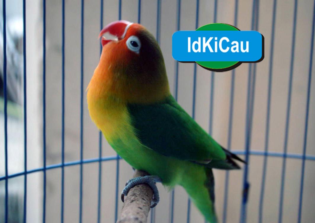 Kabar Terbaru Cara Setting Dan Menyetel Lovebird Konslet Dengan Aneka Macam Macam Resep Kabarterbaru Co