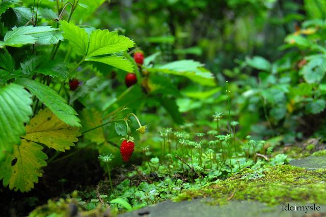 leśne owoce, wild strawberry, porostnica wielokształtna