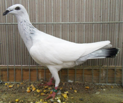 Polish Long-Faced Tumbler - tumbler pigeons