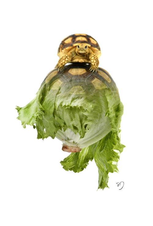 13-Tortoise-Letters-Sarah-DeRemer-You-Are-what-You-Eat-Photo-Manipulation-www-designstack-co