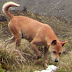 The World's Rarest And Most Ancient Dog Has Been Re-Discovered in The Wild