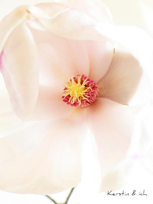 Nahaufnahme Magnolienblüte