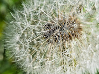 dandelion-www.healthnote25.com