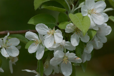 Crab apple (Malus sylvestris)