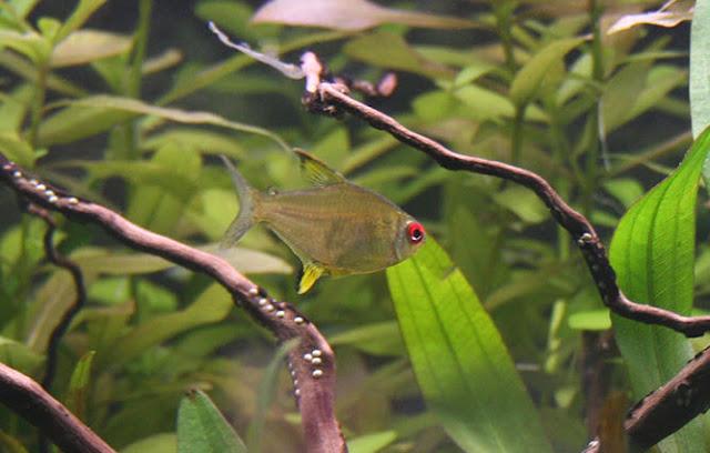 Lemon Tetra Fish in Aquarium