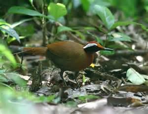 Papuan Whipbird (Androphobus viridis) adalah spesies burung dari keluarga Psophodidae yang dipisahkan kedalam Genus: Androphobus.